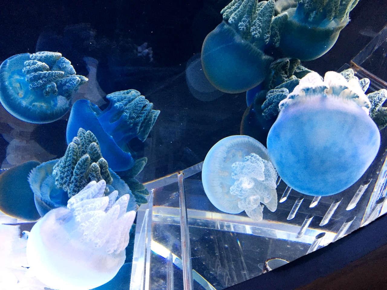 kyoto-aquarium-jerryfish2